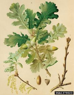 Quercus pubescens or Downy Oak. This species likes deep alluvial soils. Botanical Drawings, Botanical Prints, Art Floral, Mini Mundo, Botany Illustration, Nature Prints, Trees To Plant, Art Drawings, Painting