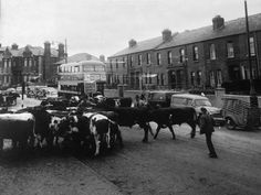 Cattle markets North Circular Road. 1950s Dublin Street, Dublin City, Vintage Photographs, Vintage Photos, Vintage Stuff, Dublin Ireland, Ireland Travel, Old Pictures, Old Photos