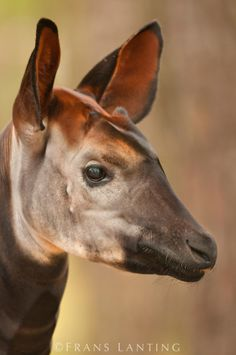 The face of an Okapi located at the White Oak, Conservation Center in Florida.  The Okapi, most of whom live in the Rainforest, are considered a threatened species. Unusual Animals, Rare Animals, Animals Beautiful, Frans Lanting, African Antelope, Wild Animals Photography, Forest Habitat, Okapi, Animal Magic