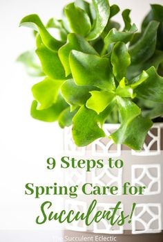 Learn how to get your succulents ready for spring! These simple steps to spring care for succulents ensures your plants are ready to grow in health and beauty as well as size! #succulentcare #springcare #careforsucculents #springsucculents Succulent Care, Planting Succulents, Health And Beauty, You Got This, Spring, Simple, Plants, Its Ok, Plant