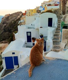 Cat, Santorini, Greece
