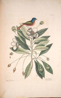 v.1 (1729-1732) - The natural history of Carolina, Florida and the Bahama Islands : - Biodiversity Heritage Library