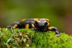 Photo Mlok skvrnitý (Salamandra salamandra) by Pavel Hajer on 500px