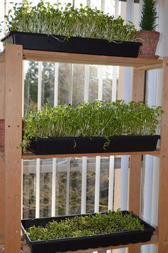 Jardinage urbain intérieur : cultiver des pousses de tournesol à la maison