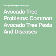 Avocado Tree Problems: Common Avocado Tree Pests And Diseases Raised Flower Beds, Avocado Tree, Dream Garden, Gardening, Fruit, Plants, Lawn And Garden, Hass Avocado Tree, Plant