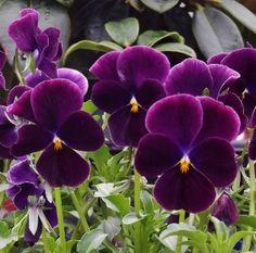 Pansies (Viola cornuta)