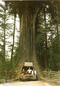 Leggett, California. The drive through tree!
