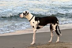 Great Dane at the beach by gr8dnes, via Flickr