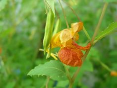 'Tis the season for these shady beauties and I just love seeing them everywhere.  I wish my yard weren't so dry & sunny or I would surround myself!  -orange-jewelweed-impatiens-touch-me-not