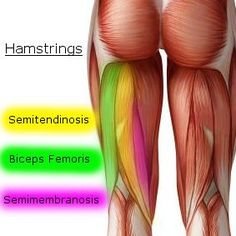 "In human anatomy, a hamstring, commonly referred to as ""hams"" is any of the three tendons located on the backside of the thigh muscles (the back of your legs). The hamstrings have three main muscle groups: biceps femoris, semimembranosus and semitendinosus."