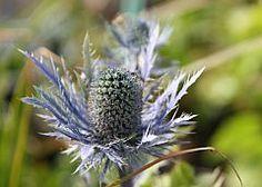 Eryngium alpinum 'Blue Star'