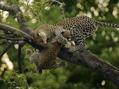 mama and baby leopards
