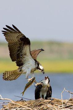Osprey bringing in breakfast to the nest