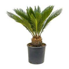 Cycas revoluta - Sago Palm - 26 x (stem Sago Palm Tree, Indoor Palms, Tall Planters, Indoor Plant Pots, Balcony Plants, Liquid Fertilizer, Office Plants, Summer Rain, Different Plants