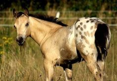 This little one is going to grow up to be beautiful.Buckskin Appaloosa my suzie Most Beautiful Animals, Beautiful Horses, Beautiful Creatures, Baby Horses, Majestic Horse, Appaloosa Horses, All The Pretty Horses, Horse Pictures, Horse Photography