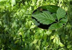 Green Master Project: Jiaogulan la planta que ayuda a mejorar la circula...