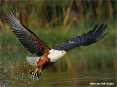 African Fish-Eagle Visarend Haliaeetus vocifer R148