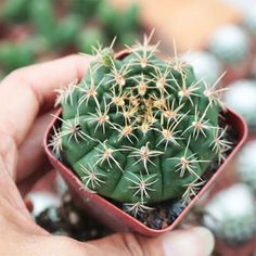 GYMNOCALYCIUM ANISITSII Grab your Rare succulents online. Worldwide Shipping. Use Discount code: E10PER esucculent.com Buy Succulents Online, Succulents For Sale, Cacti And Succulents, Planting Succulents, Outdoor Plants, Air Plants, 1 Live, Succulent Care, Plant Sale
