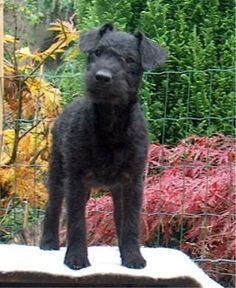 Lakeland Terrier Information and Pictures, Lakeland Terriers