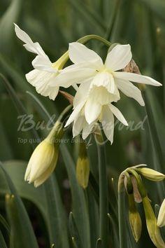 Daffodil - Thalia