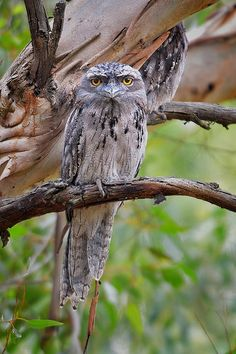 The Tawny Frogmouth (Podargus strigoides) is an Australian species of frogmouth, a type of bird found throughout the Australian mainland, Tasmania and southern New Guinea. The Tawny Frogmouth is often mistaken for an owl.