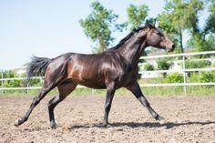 Budyonny stallion Fan-Fan