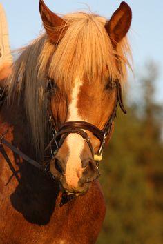 Finnish horse_Suomenhevonen