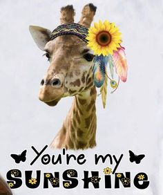 You're my sunshine. Giraffe Quotes, Giraffe Facts, Giraffe Humor, Nature Animals, Animals And Pets, Funny Animals, Cute Animals, Giraffe Pictures, Cute Animal Pictures