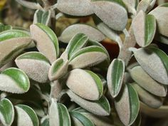 glaucescens (Prayer Pepper) is a shrubby succulent with purse-shaped leaves and stems that become woody with age. Cacti And Succulents, Planting Succulents, Planting Flowers, Flower Plants, Rock Garden Plants, Garden Types, House Plants Decor, Plant Decor, Peperomia Plant