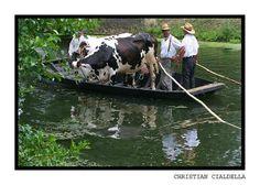 Le marais poitevin et son transport de bétail