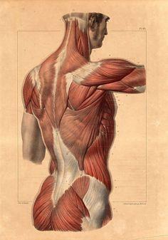 Antique Anatomy Print-BACK-TRAPEZIUS-SHOULDER-MUSCLES-Pl. 83-Bourgery-1831