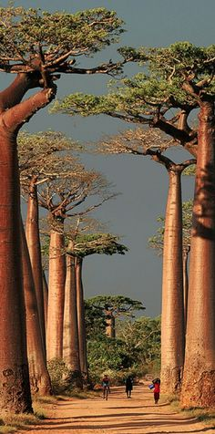 Baobab Alley  ~ Morondava,Toliara, Madagascar • photo: peace-on-earth.org on Flickr ☛ http://www.flickr.com/photos/peace-on-earth_org/2087316337/
