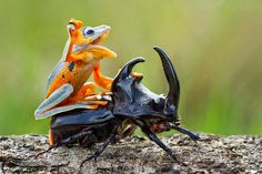 Hi ho dung beetle,  away