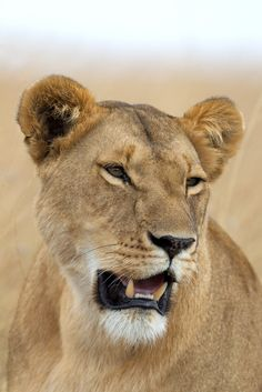 Lioness from the Ridge Pride   by Olivier DELAERE