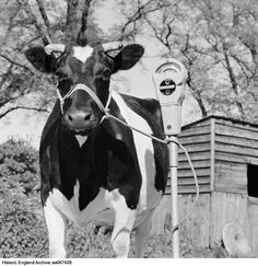 Photographer: John Gay A freisian cow tethered to a mobile parking meter in a farmyard The name 'D Williams' is written on the original envelope Date 1964 - 1974