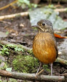 Scaled antpitta (Grallaria guatimalensis) is a species of bird in the family Grallariidae. It is found in Bolivia, Brazil, Colombia, Costa Rica, Ecuador, El Salvador, Guatemala, Guyana, Honduras, Mexico, Nicaragua, Panama, Peru, Trinidad and Tobago, and Venezuela. Its natural habitats are subtropical or tropical moist lowland forests and subtropical or tropical moist montane forests.