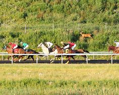 A deer runs alongside horses during a race at Presque Isle Downs. - See more at: http://www.bloodhorse.com/horse-racing/articles/92734/presque-isle-downs-facing-deer-problem#sthash.3JNQ3uBV.dpuf