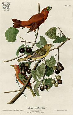 Muscadine, Vitis rotundifolia with Summer Red Bird. Birds of America [double elephant folio edition], Audubon, J.J.,  (1826-1838) [J.J. Audubon]