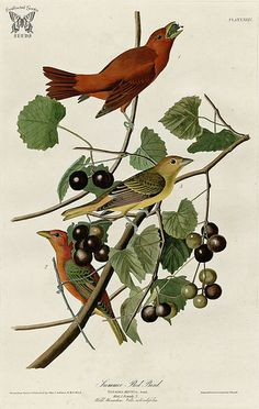 Muscadine, Vitis rotundifolia with Summer Red Bird. Birds of America [double elephant folio edition], Audubon, J.J.,  (1826-1838) [J.J. Audubon]