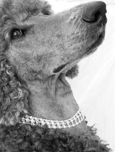 Poodle with style!