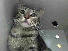 TO BE DESTROYED 6/30/14 ** Poor Colorado is young and afraid. He needs our help to get out of the shelter. Foster, adopt or pledge to save his life tonight!! ** Brooklyn Center  My name is COLORADO. My Animal ID # is A1004439. I am a male brn tabby and white domestic sh mix. The shelter thinks I am about 1 YEAR 6 MONTHS old.  I came in the shelter as a STRAY on 06/24/2014 from NY 11222,