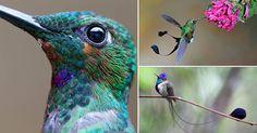 Los colibríes son los pájaros más pequeños que existen. Si tenemos suerte, podemos verlos pasar fugazmente por nuestros jardines, mientras se alimentan con nuestras flores. Por la velocidad a la que vuelan, es muy difícil admirarlos en todo su esplendor. Sigue leyendo para aprender más sobre ellos y aprecia su belleza.      Los colibríes son originarios de América. Viven principalmente en América Central, aunque se ha comprobado que tienen la capacidad de adaptarse a otros hábitats.     …
