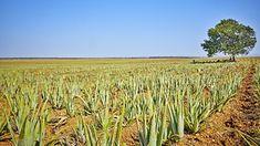 Aloe vera kutatás Érdemes jobban megismerni az aloét. Aloe vera kutatás a Debreceni Egyetemen. Hogyan kerülnek elfogadásra a tudományos közlemények? #gabokakucko
