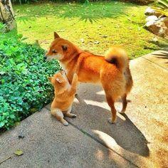 日本人の柴犬への過剰評価は異常 : ハムスター速報
