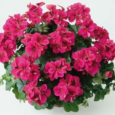 Geranium 'Aristo Red Velvet'  Pelargonium (Regal Pelargonium)  Half-hardy Perennial