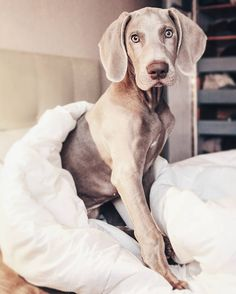 Why are Weimaraners just the best