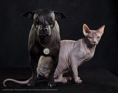 Sphynx+Cat+and+mexican+Xolo+dog+by+Klaus+Dyba+on+500px