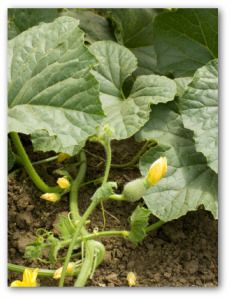 Growing acorn squash. This website has great growing guides for many veggies.