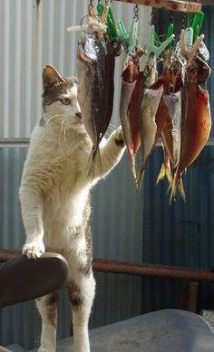 """tatunootosigo: """"魚の干物を盗み食いしようとしているだけなのに、職人にしか見えない猫がおもしろい - Spotlight (スポットライト) """""""
