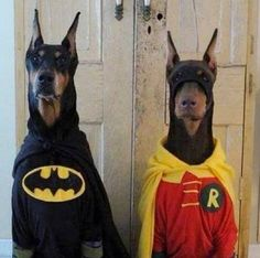 Dogs Halloween costumes -Doberman Batman & Robin (Love these Dobie dogs! Doberman Pinscher, Doberman Dogs, Dobermans, Batman And Robin Costumes, Batman Robin, Real Batman, Batman Dog Costume, Robin Superhero, Batman Batman